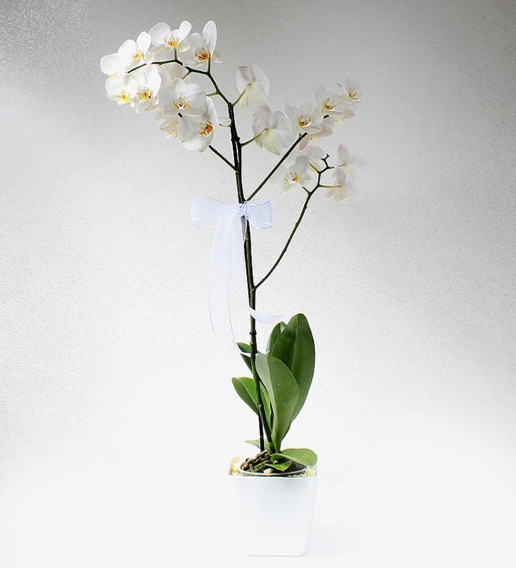Tek Dal Beyaz Phalaenopsis Orkide (Jumbo)