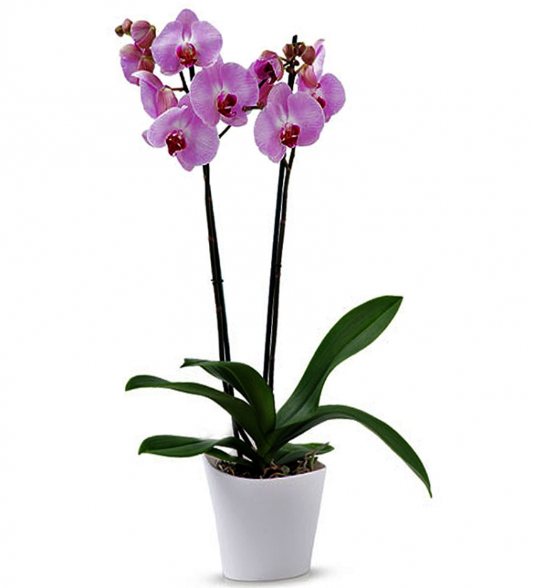 Pembe 2 Dallı Phalaenopsis Orkide