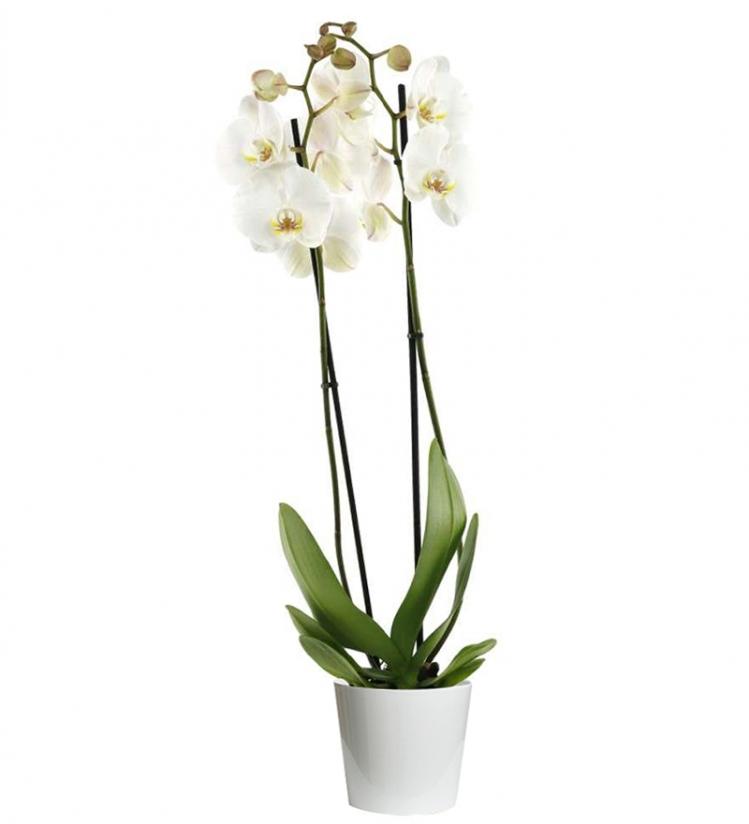 Beyaz 2 Dallı Phalaenopsis Orkide