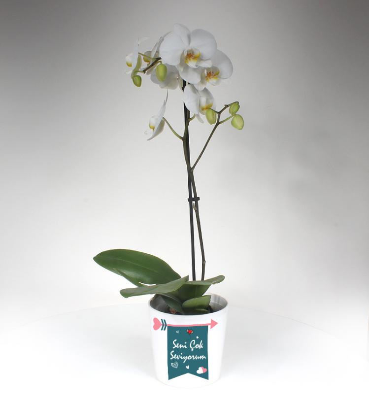 Sevgiliye Beyaz Phalaenopsis Orkide