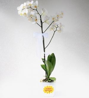 En Değerli Öğretmenime  Jumbo Tekli Beyaz Orkide