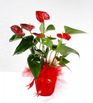 Saksıda Kırmızı Mini Antoryum Bitkisi