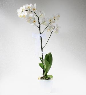 Tek Dal Beyaz Phalaenopsis Orkide