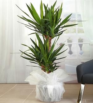 3'lü Yucca Bitkisi