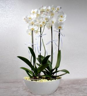 Beyaz 4 Dallı Phalaenopsis Orkide