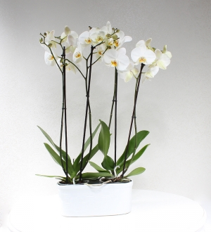 Seramikte 4 Dallı Beyaz Orkide