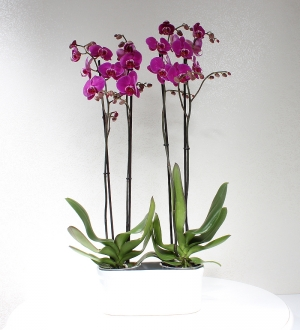Seramikte 4 Dallı Pembe Orkide