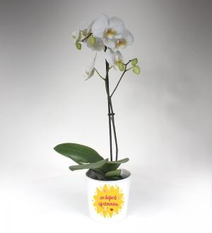 En Değerli Öğretmene Beyaz Orkide