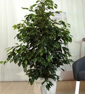 Benjamin (Ficus)