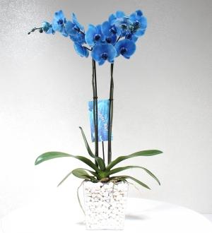2 Dallı Mavi Orkide Çiçeği
