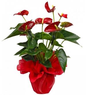 Saksıda Kırmızı Antoryum Çiçeği