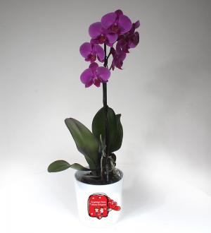 Sevgiliye Pembe Phalaenopsis Orkide