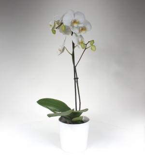 Beyaz Phalaenopsis Orkide