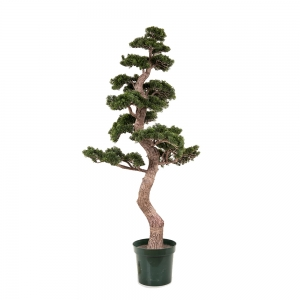 Cedar Bonsai Tree